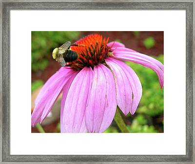 Framed Print featuring the photograph Bumblebee On Coneflower by Randy Rosenberger