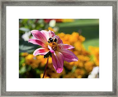 Framed Print featuring the photograph Bumblebee On Orange by Helga Novelli