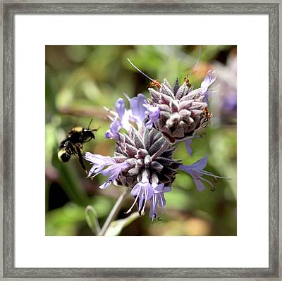 Bumbling Into Flower Framed Print by Michael Riley