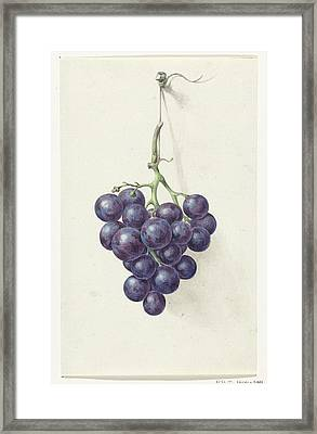 Bunch Of Blue Grapes Framed Print by MotionAge Designs