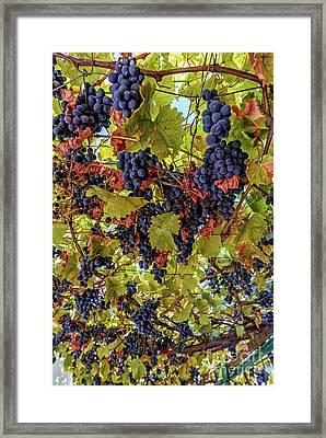 Gazebo Of Grapes Framed Print