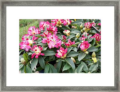 Bunch Of Little Pink Rhododendron Framed Print by Arletta Cwalina