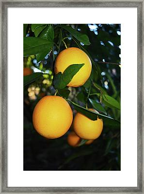 Bunch Of Oranges Framed Print by Aimee L Maher Photography and Art Visit ALMGallerydotcom