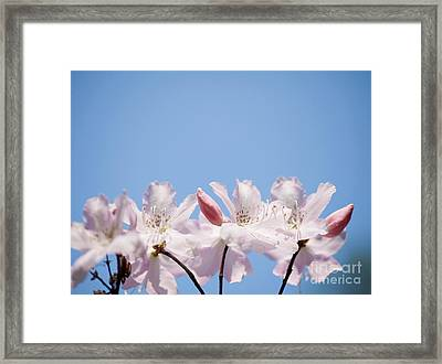 Bunch Of Pink Rhododendron Called Azalea  Framed Print by Arletta Cwalina