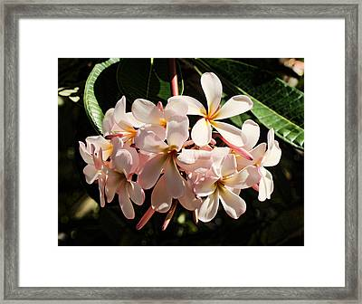 Bunch Of Plumeria Framed Print
