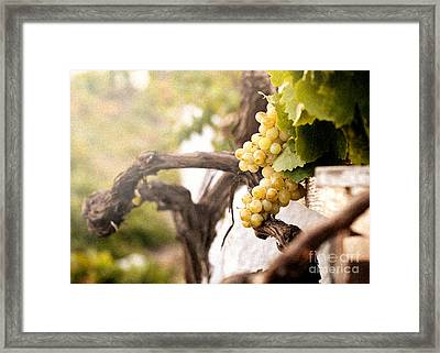 Bunch Of White Grapes In The Vineyard  Framed Print