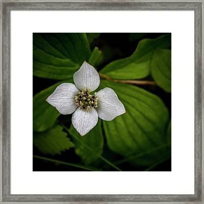 Framed Print featuring the photograph Bunchberry Dogwood On Gloomy Day by Darcy Michaelchuk