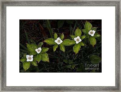 Bunchberry Flowers Framed Print
