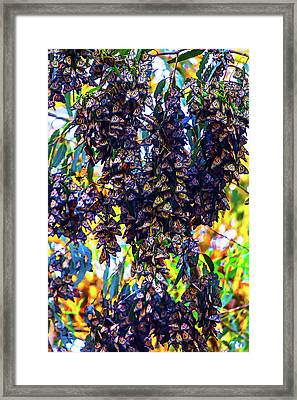 Bunches Of Monarchs Framed Print