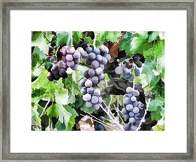 Bunches Of Wine Grapes  Framed Print by Lanjee Chee