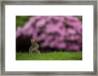Bunny In The Yard Framed Print