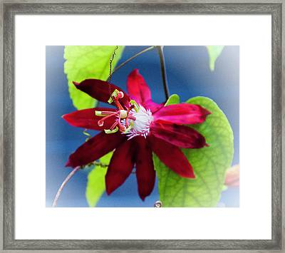 Burgandy Passion Flower Framed Print by Phyllis Taylor