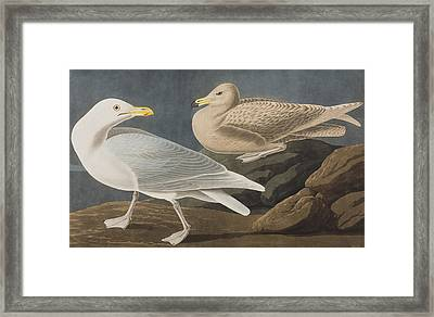 Burgomaster Gull Framed Print by John James Audubon