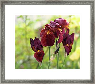 Burgundy Bearded Irises In The Rain Framed Print by Rona Black