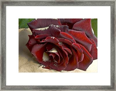 Burgundy Rose Framed Print by Svetlana Sewell