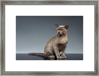 Burma Cat Sits And Loocking Up On Gray Framed Print