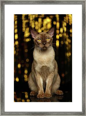 Burmese Cat Sits On New Year Background Framed Print