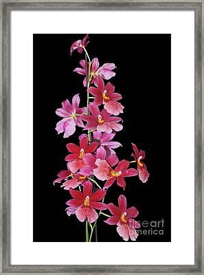 Burrageara Nelly Isler, Swiss Beauty Framed Print