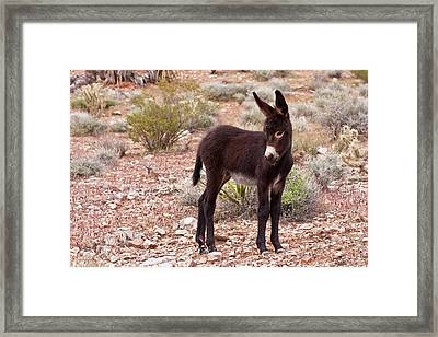 Burro Foal Framed Print by James Marvin Phelps