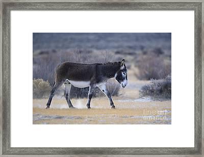 Burro In Nevada Framed Print