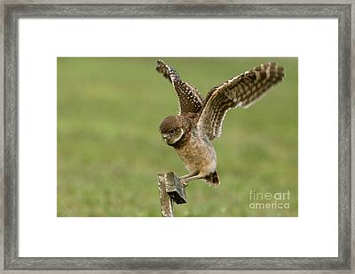 Burrowing Owl - Learning To Fly Framed Print