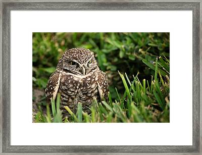 Burrowing Owl Framed Print by Mandy Wiltse