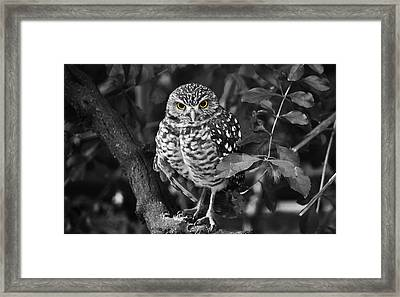 Burrowing Owl  Selective Color Eyes Framed Print