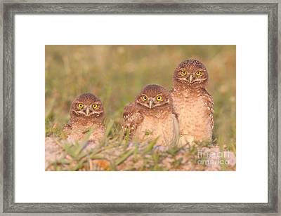 Burrowing Owl Siblings Framed Print by Clarence Holmes