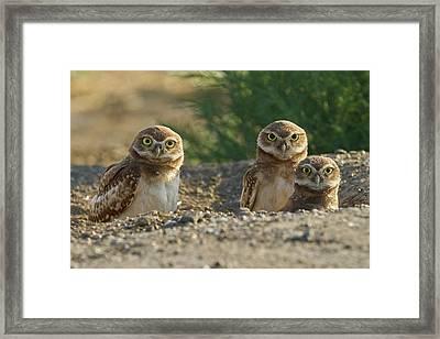 Burrowing Owls Framed Print by Doug Herr