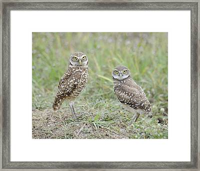 Burrowing Owls Nesting Framed Print by Keith Lovejoy