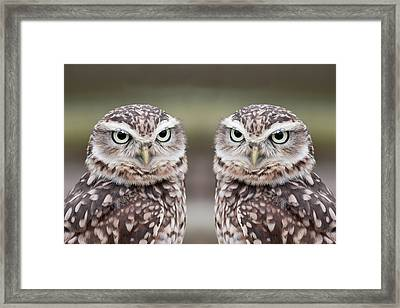 Burrowing Owls Framed Print by Tony Emmett