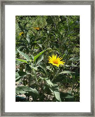 Burst Of Sun Flower Framed Print