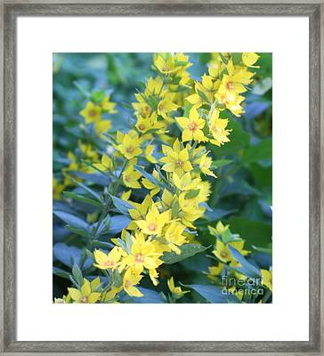 Burst Of Yellow Framed Print by Amy Holmes