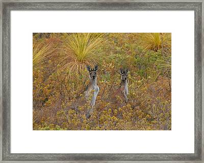 Bush Kangaroos Framed Print