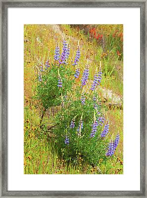 Framed Print featuring the photograph Bush Lupine by Ram Vasudev