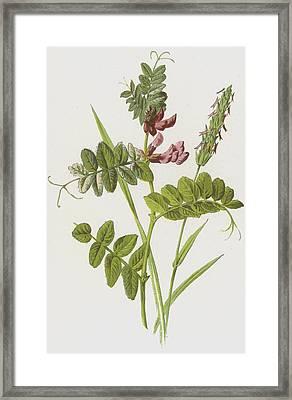 Bush Vetch And Sweet Scented Vernal Grass Framed Print by Frederick Edward Hulme