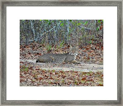 Bobcat Breather Framed Print