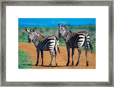 Bushnell's Zebras Framed Print by Tina Manley