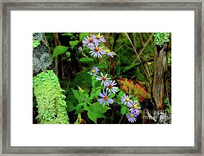 Bushy Aster In Sumac Grove Framed Print by Thomas R Fletcher
