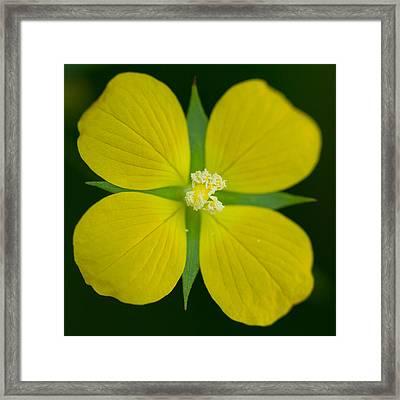 Bushy Seedbox - Ludwigia Alternifolia Framed Print by Elaine Smith