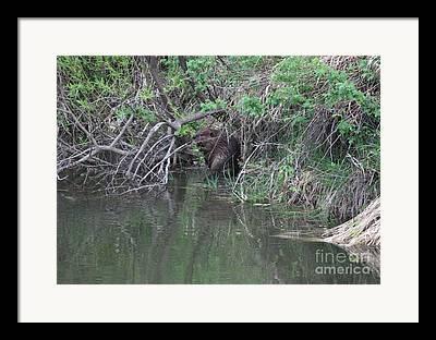 Busy Beavers Framed Prints