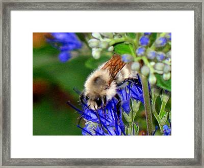 Busy Bee IIi Framed Print by Gigi Kobel