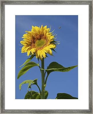 Busy Bee Framed Print by Patricia McKay