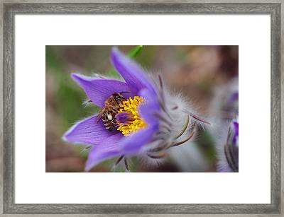 Busy Busy Bee On Pasqueflower Framed Print by Jenny Rainbow