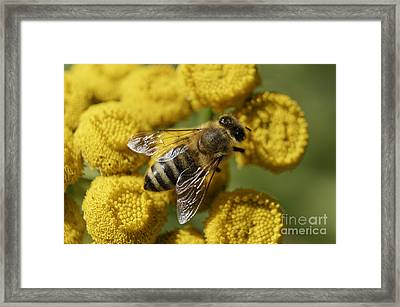 Busy Honey Bee Framed Print by John  Mitchell