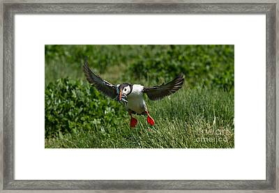 Busy Puffin Framed Print by Tracey Hunnewell