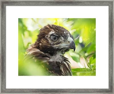 Buteo Jamaicensis Framed Print