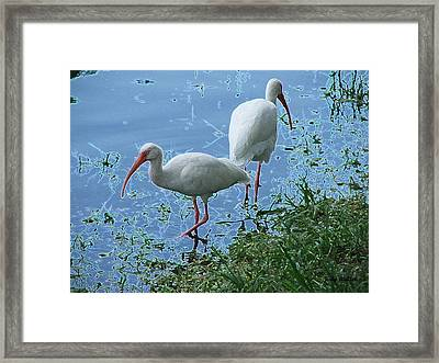 Butt To Butt Framed Print by Judy  Waller