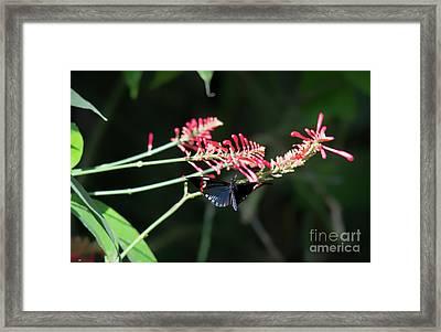 Butterfly In Flight Framed Print
