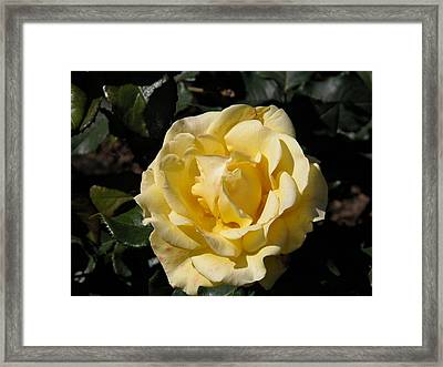 Butter Rose Framed Print by William Thomas